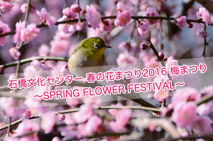 白梅や紅梅が咲き誇る!石橋文化センター春の花まつり2016「梅まつり」