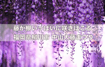 藤が棚いっぱいに咲きほこる 福岡県柳川市 中山大藤まつり 4月16日〜28日開催
