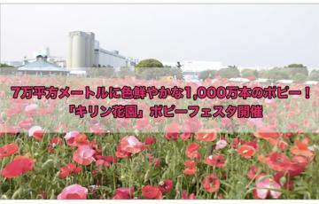 7万平方メートルに色鮮やかな1,000万本のポピー!「キリン花園」ポピーフェスタ開催