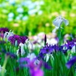 久留米市中央公園 約12,000株のハナショウブが咲きほこる「第11回花菖蒲まつり」