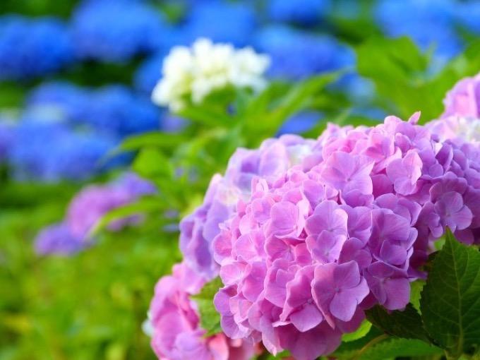 久留米市 千光寺 「あじさい祭り」7,000株のあじさいが咲き誇る!