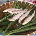 第13回 城島エツ祭 6月26日開催!貴重な希少な魚 エツが食べられる!