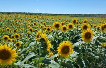 5haのひまわり畑に夏の柳川を飾る50万本の大輪のひまわりが咲きほこる