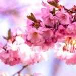久留米市三本松公園「2017文化街さくら祭り」ステージイベントや飲食、地酒ブースが出展