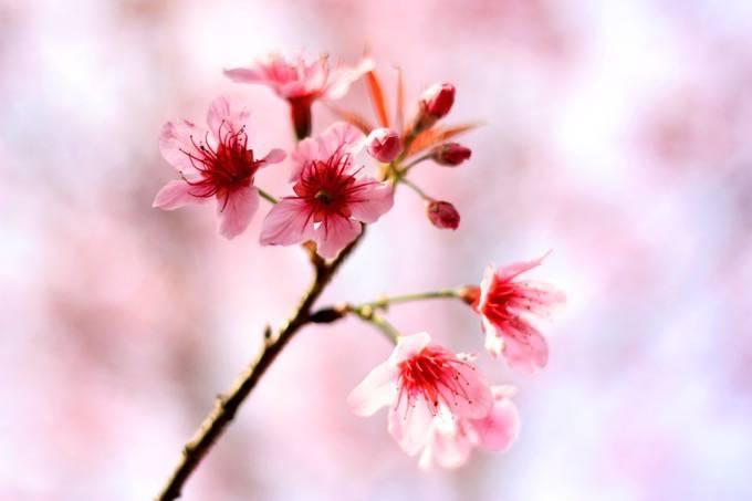 約200本の桜が咲き誇る『第6回 城島町民の森公園桜まつり』