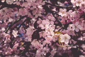 道の駅 くるめ 「第4回 桜まつり」3月25日、26日開催!