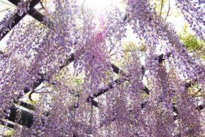 樹齢約620年!極上の美しさ「八女黒木大藤まつり」開催