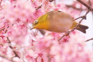 これは便利!Googleマップで桜の開花情報・お花見スポットが分かる