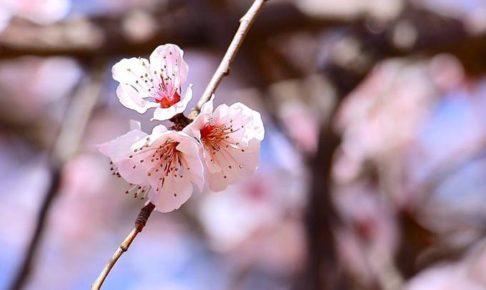 満開はいつ!?福岡県久留米市のサクラ開花状況・情報はここで決まり!