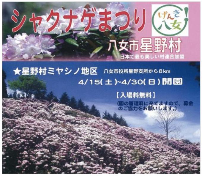 約5000本が咲きほこる!八女市星野村「ミヤシノシャクナゲまつり」