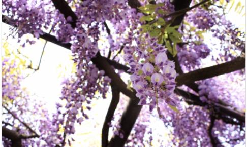 福岡県柳川市「第14回中山大藤まつり」開催期間を延長に。5月2日まで!