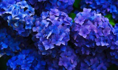 九州最大規模 広大な敷地に約7,000株のあじさいが咲きほこる 久留米市 千光寺「あじさい祭り」