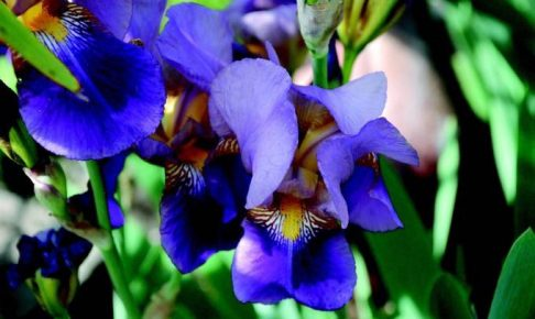 約12000株のハナショウブが咲きほこる!久留米市中央公園で「第12回花菖蒲まつり」