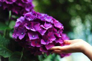 日本の花風景100選 約50種類、4万株のあじさいが咲き誇る「第29回見帰りの滝あじさいまつり」