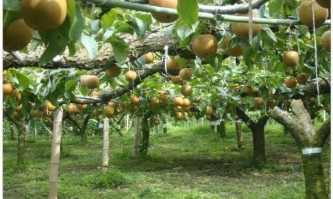 久留米市「フルトリエ」フルーツのアトリエ・フルーツ狩り 7月25日観光農園OPEN