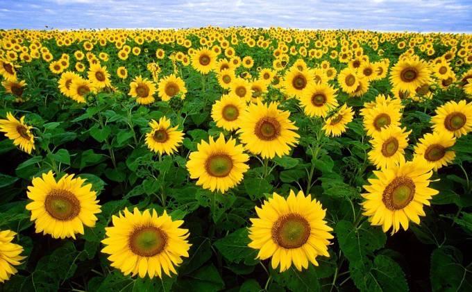 柳川ひまわり園 約50万本の大輪のひまわりが咲きほこる!