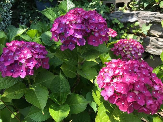 見頃を迎えた久留米市 千光寺(あじさい寺)に紫陽花を見に行ってきました!