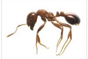 福岡で「ヒアリ」が数十匹見つかる! 福岡市博多港アイランドシティで発見