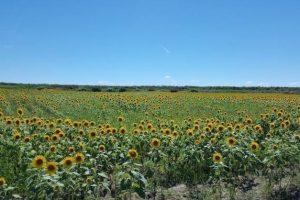 北部九州4K百景 柳川市の広大な干拓地に広がる「ひまわり園」を放送