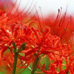 久留米市 高良川彼岸花まつり 9種 7万本の彼岸花