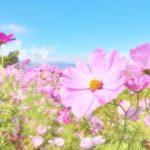 第32回 久留米市コスモスフェスティバル 久留米の秋を代表するイベント