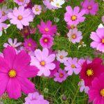 約1,000万本ものコスモスが咲き乱れる!キリン花園のコスモス