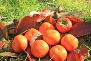久留米市田主丸 柿狩り 農林大臣賞を受賞した柿狩りを楽しもう!