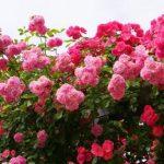 石橋文化センター秋のバラフェア2017 400品種2600株のバラが彩る
