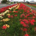 高良川の彼岸花が見頃に!色鮮やかな5万株の彼岸花!久留米市合川町