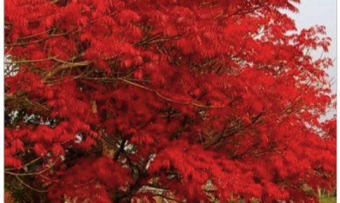 柳坂ハゼ祭り 県の天然記念物 約200本ハゼが紅葉!並木道が歩行者天国に!