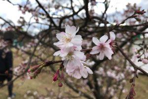 え!?こんな11月に!筑後広域公園で秋に咲く桜