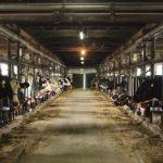 乳牛コンテスト 福岡県内より選ばれたホルスタインが一堂に集結