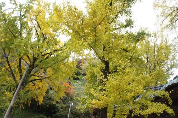 みやき町 綾部神社 さが名木100選 樹齢700年イチョウ2