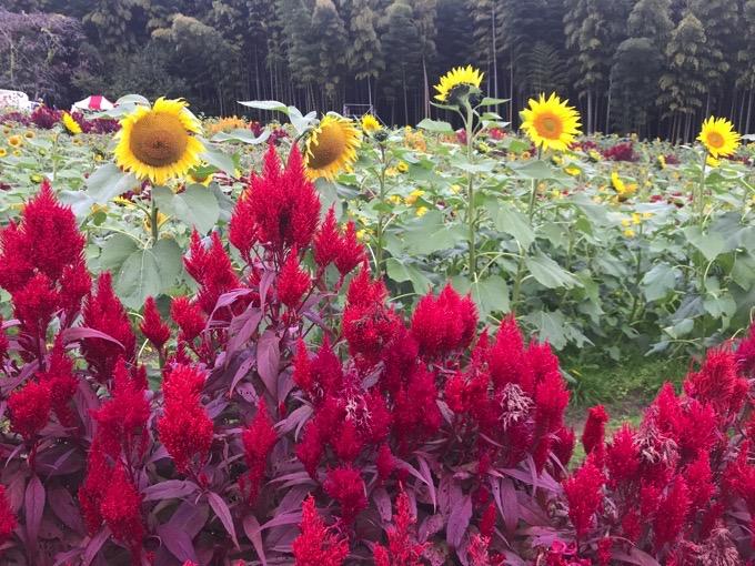 山田ひまわり園【みやき町】ひまわりと赤いケイトウ
