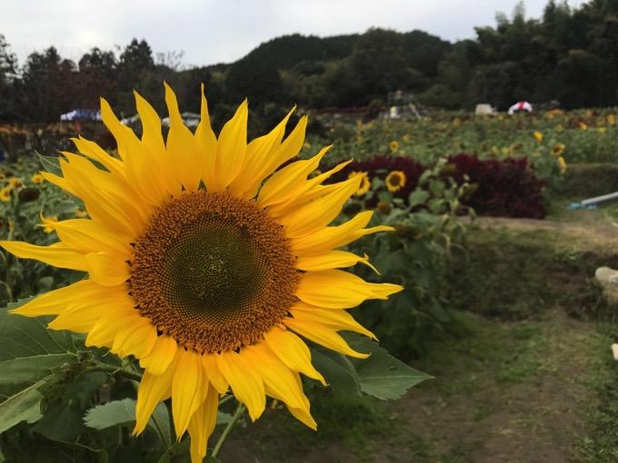 山田ひまわり園【みやき町】大輪のひまわり
