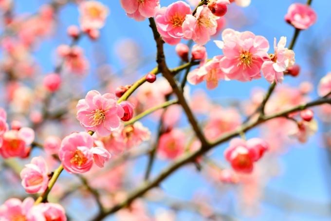 久留米市 梅林寺外苑の梅 約30種500本の梅が咲き誇る【梅の名所】