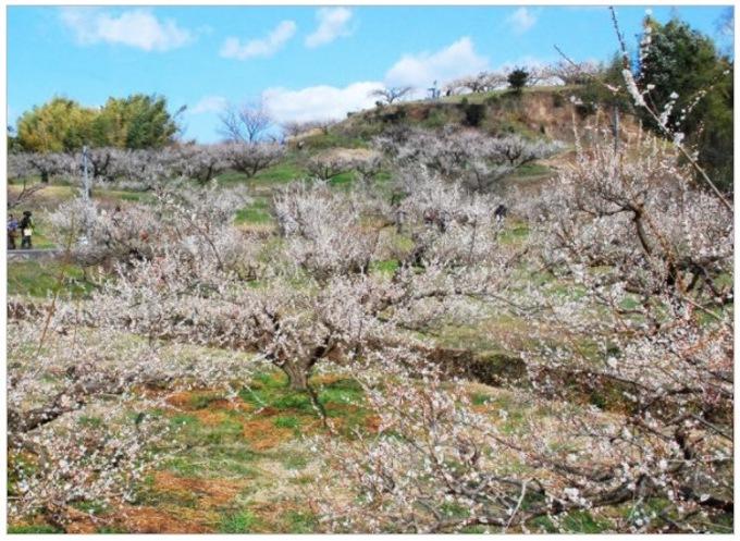 八女市立花町 谷川梅林「夢たちばな観梅会」3万本の梅!九州の梅の三名園のひとつ