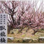 大牟田市 普光寺 臥龍梅(がりゅうばい)樹齢450年余 八重咲きの紅梅