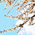 将軍梅 梅まつり 宮ノ陣神社 遅咲きの梅【久留米市指定天然記念物】