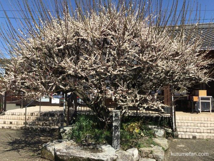普光寺の梅