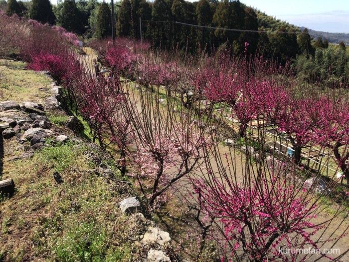 大牟田市 普光寺の臥龍梅へを観に訪れた様子