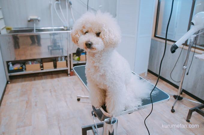 ドッグサロン ワンコdeワンコ 作業台にのった犬