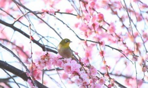久留米・筑後地方 梅の名所・梅まつりまとめ 梅を見に行こう!