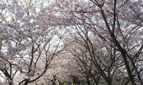 うきは市「桜名所とさくら祭りまとめ」約2キロ続く流川桜並木