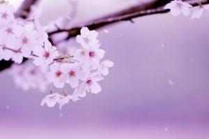 第10回 石丸山公園桜まつり 座・とんちんかん出演や堤灯の点灯
