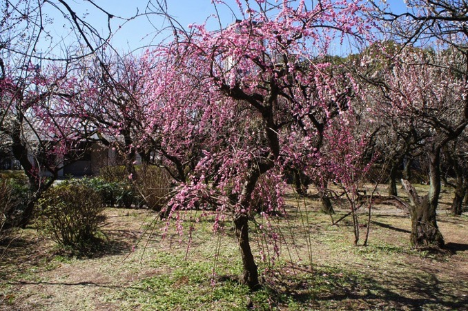 久留米市 梅林寺外苑 ピンクの梅