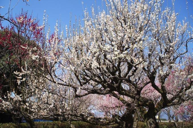 久留米市 梅林寺外苑 咲き誇る梅