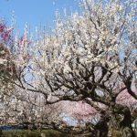 久留米市 梅林寺外苑の梅を見てきました!境内は梅の香りで包まれる