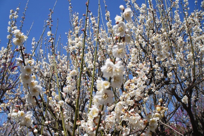 久留米市 梅林寺外苑 白い梅