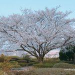 久留米百年公園の桜を見に訪れました。約200本の桜にうっとり